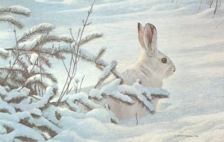 Winter - Snowshoe Hare