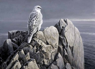 Evening Light - White Gyrfalcon