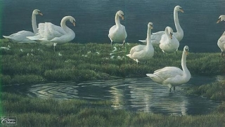Bank of Swans