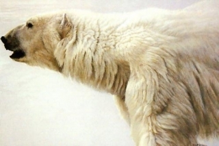 Polar Bear Profile