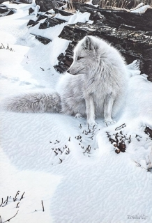 Blue Shadows -  Arctic Fox