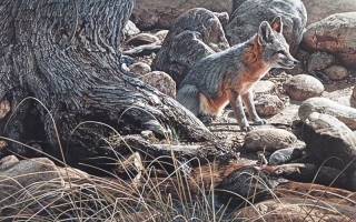 Desert Respite -  Kit Fox