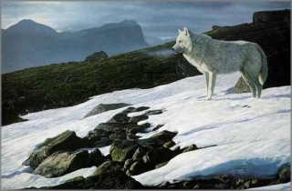 Arctic Light - Wolf