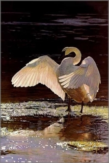 Into the Light - Trumpeter Swan