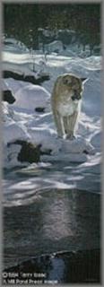 Snow Spirit - Cougar