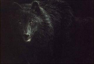 Black Wolf - North American Wilderness