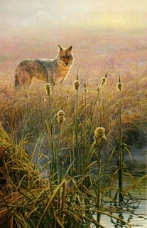 Dawn on the Marsh - Coyote