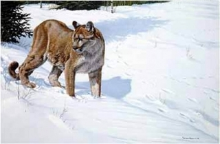 First Tracks - Cougar