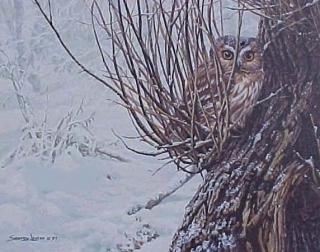 Hiding Place - Saw-Whet Owl