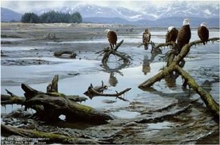 Low Tide - Bald Eagles