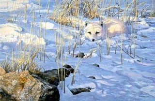 Lying in Wait - Arctic Fox