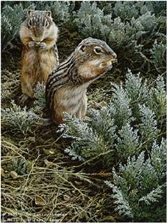 Morning Forage - Ground Squirrel