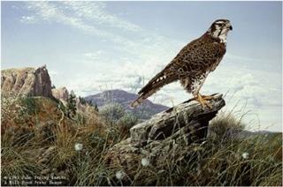 Plains Hunter - Prairie Falcon
