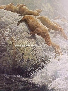The Plunge - Northern Sea Lions