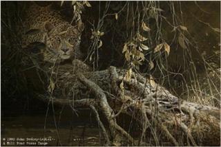 Young Predator - Leopard Cub