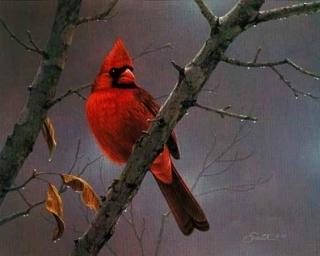 Hot  Shot  Cardinal