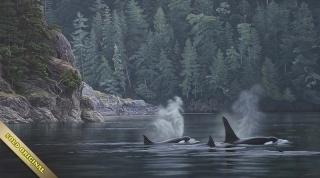 Telegraph Cove - Killer Whales