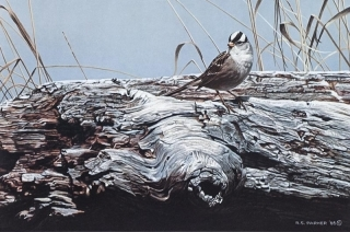 White Crowned Sprrow on Driftwood