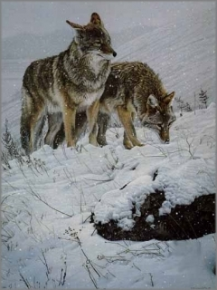Winter Storm - Coyotes
