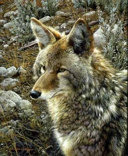 Natural Survivor - Coyote