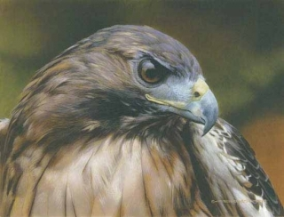 Red Alert - Red-Tailed Hawk