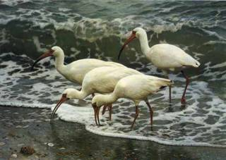 Shoreline Quartet White Ibis