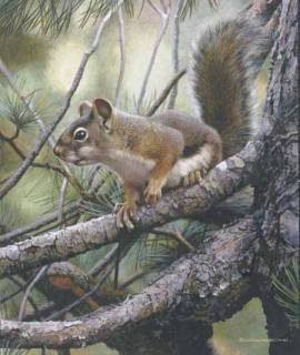 Social Climer - Red Squirrel
