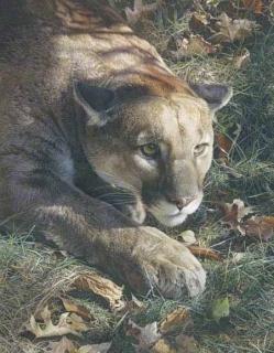 Stalking - Cougar