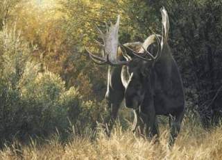 Sudden Encounter - Bull Moose