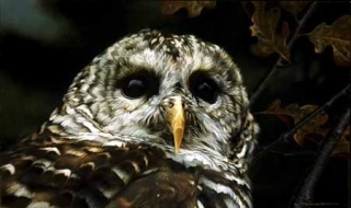 Up Close - Barred Owl